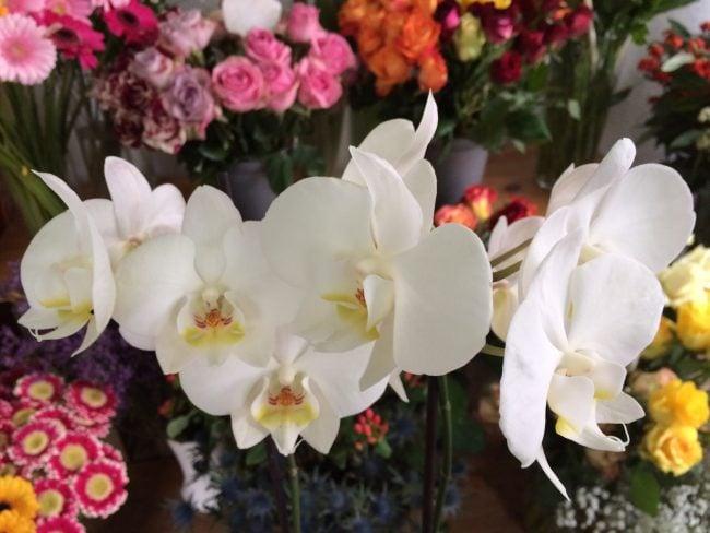 Weiße Orchidee - Phalaenopsis