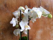 Blüte einer weißen Orchidee