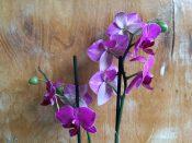 Zwei Rispen lila Orchidee