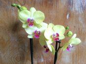 Zweirispige Orchidee
