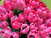 Rosa Tulpen - Frühlings Blumen