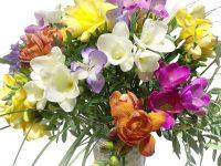 Frühlingsblumen Freesien