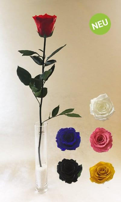Echte, stabilisierte Rose.