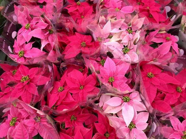 Rote und rosa Weihnachtssterne
