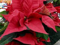 Weihnachtsstern Blüte in rot