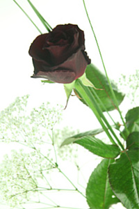 Black Baccara - Schwarze Rose