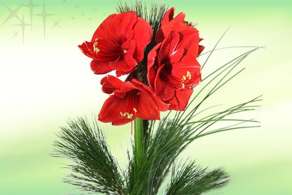 adventsstrau rosen amaryllis rosenbote. Black Bedroom Furniture Sets. Home Design Ideas