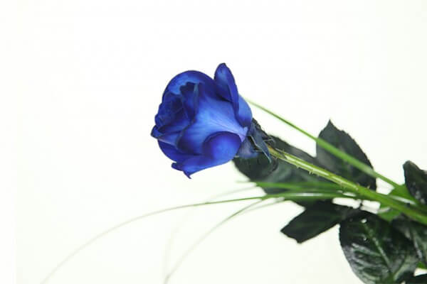 Blaue Rose -Basic