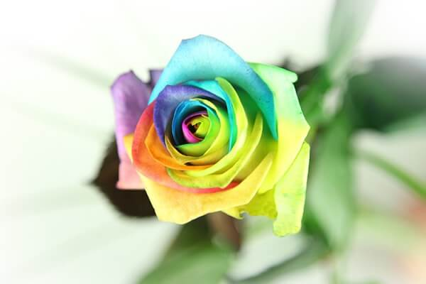 Regenbogen Rose Basic Zoom