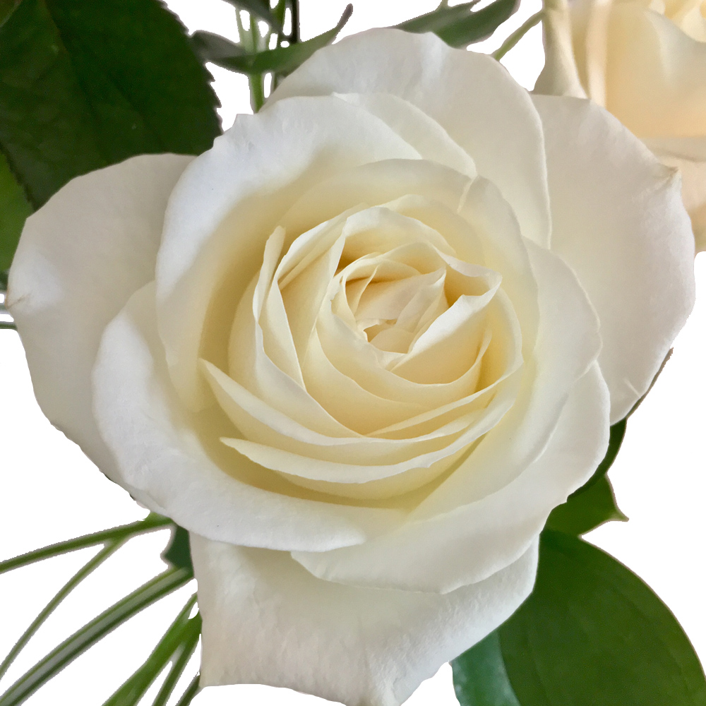Weiße Rosen: Drei weiße Rosen im Arrangement - Rosenbote