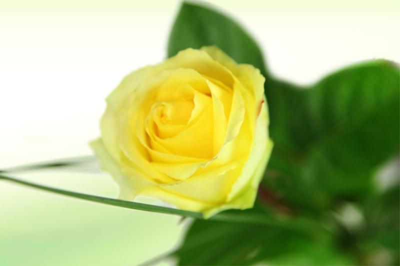 Große gelbe Rose - Basic