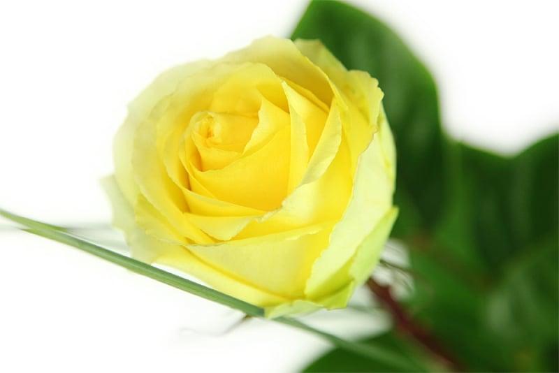 gro e gelbe rose rosenbote. Black Bedroom Furniture Sets. Home Design Ideas