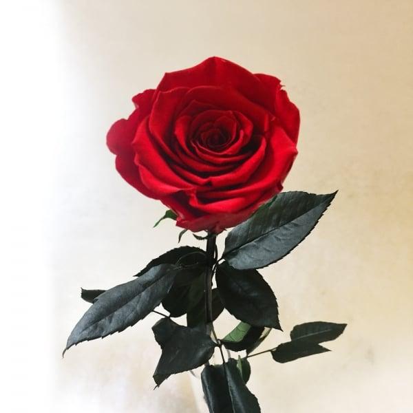 haltbare rosen eine rose f r die ewigkeit neu rosenbote. Black Bedroom Furniture Sets. Home Design Ideas