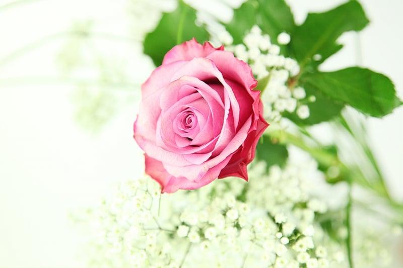Große pinke Rose