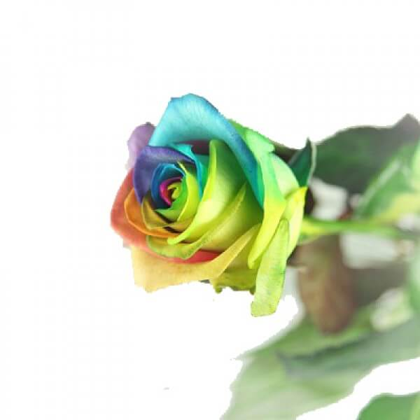 Regenbogen Rose Basic