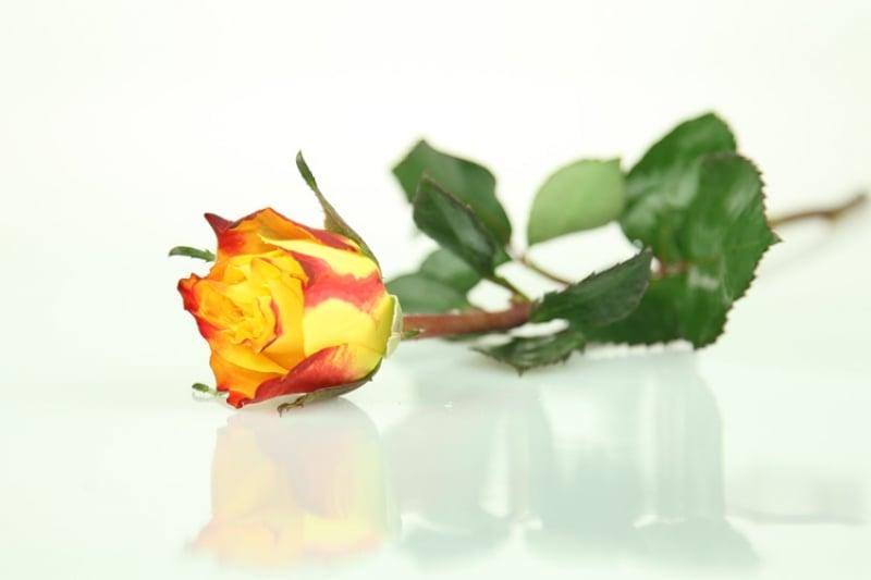 Gelb Rote Rosen Bedeutung : gelb rote rose basic rosenbote ~ Whattoseeinmadrid.com Haus und Dekorationen