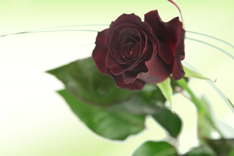 Schwarze Rose